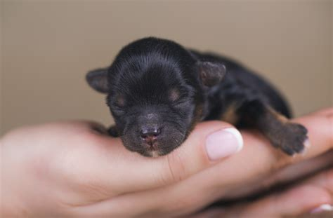 newborn puppies 12 fascinating facts you didn t about newborn puppies petmd