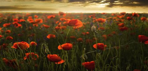 the poppies of flanders fields discovering belgium