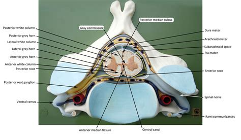 spinal cord cross section model spinal cord cross section amazing spinal cord anatomy