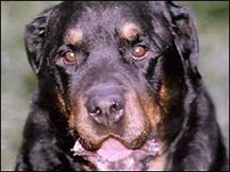 rottweiler breed council news uk northern ireland council banning 10 breeds of