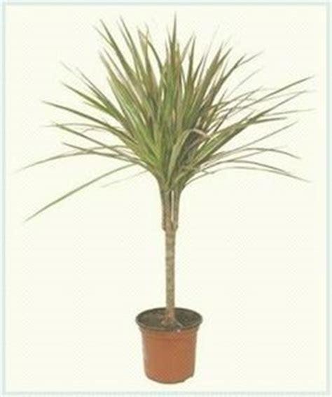 palme in vaso prendersi cura di palme in vaso