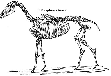 horse skeleton coloring page horse skeleton labeled sketch coloring page