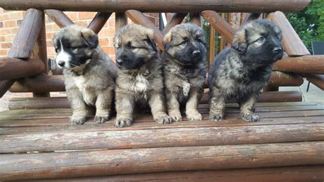 caucasian shepherd for sale caucasian shepherd puppies for sale sheffield south pets4homes