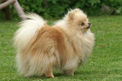 show me a picture of a pomeranian poms on the go kennel of pomeranian world
