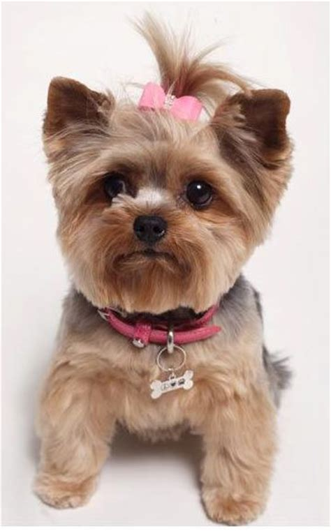teacup yorkie collars yorkie likes design designer collars and