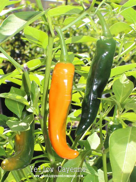yellow cayenne pepper the hippy seed company your