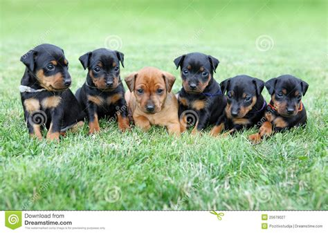 free miniature pinscher puppies the miniature pinscher puppies royalty free stock photography image 25679027