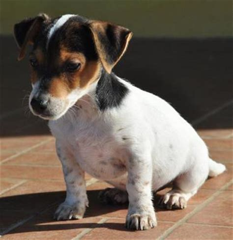 imagenes jack russell terrier fotos jack russell terrier cachorros wikipets