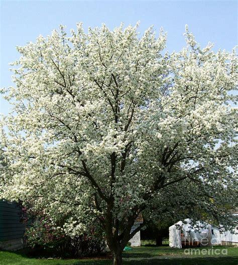 large flowering trees 28 images stunning shade trees jacaranda flowering tree large