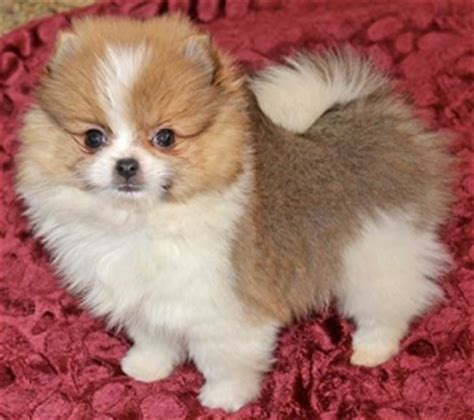 teacup pomeranian orlando amazing micro teacup pomeranian puppy anchorage for sale juneau pets dogs