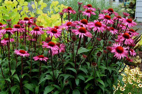 merlot coneflower plants encyclopedia