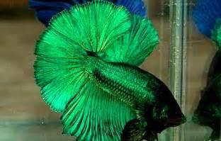 betta colors green betta fish so i can call him mojito betas fish