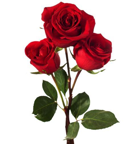 imagenes d rosas image gallery imagenes de una rosa
