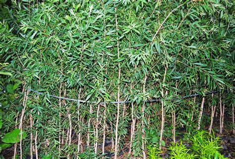 Minyak Kayu Putih Yang Kecil pengetahuan 4 tanaman yang bermanfaat