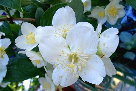 fiori gelsomino gelsomino significato significato fiori il significato