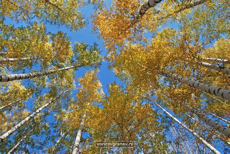 what does wood symbolize синее как вода небо фото жёлтой листвы над головой