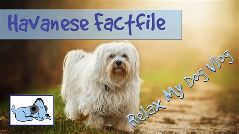 havanese characteristics everything you need to about havanese dogs