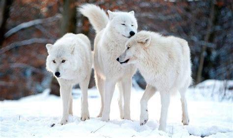 imagenes lobo blanco lobo blanco informaci 243 n qu 233 come d 243 nde vive c 243 mo nace