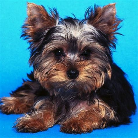show me a yorkie yorkies quotes quotesgram