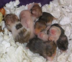 care  baby hamsters raising  breeding info