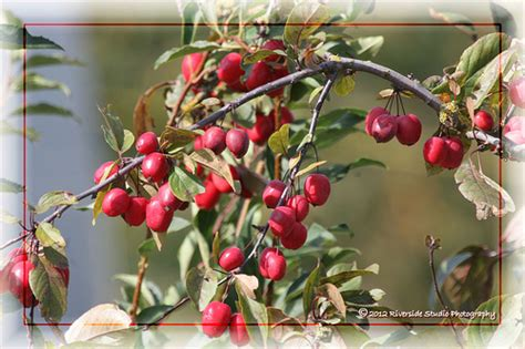 ornamental plum tree non edible fruits flickr photo sharing