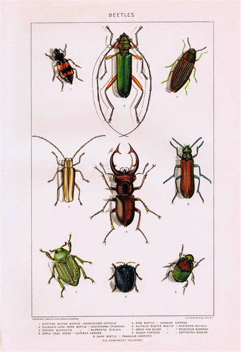 printable pictures insects antique nature printable insects beetles knick of time