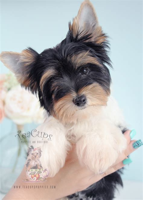 yorkie breeders uk biewer terrier breeders uk 4k wallpapers