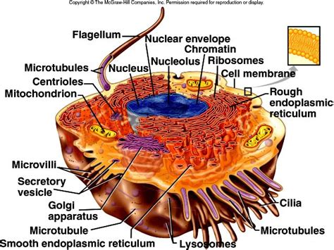 composite cell ehs anatomy physiology