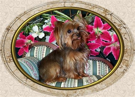 velvet touch yorkies page 10 velvet touch yorkies d o b height weight information