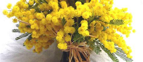 fiori mimose mimose fiori e foglie