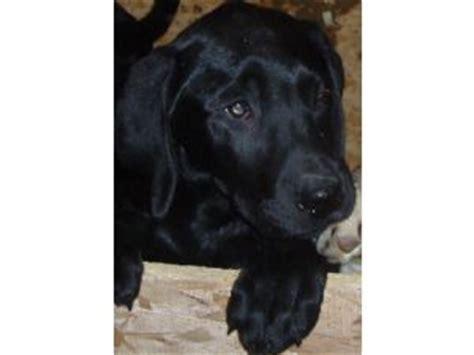 lab puppies for sale in iowa labrador retriever puppies in iowa