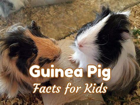guinea pig facts  kids  adults class pet guinea