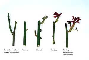 pruning roses completegarden s weblog