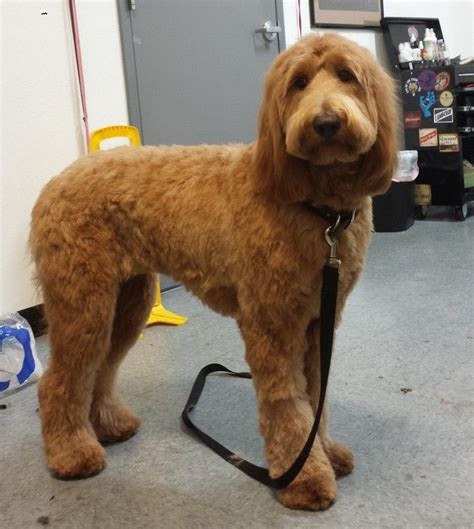 grooming a mini goldendoodle wavy hair types of goldendoodle haircuts google search