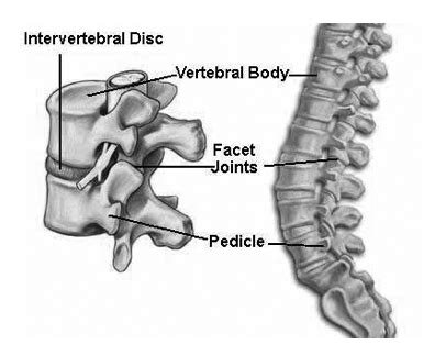 labeled vertebrae diagram spine labeled diagram images frompo