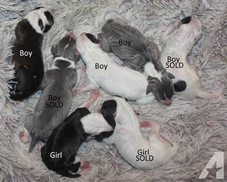 italian greyhound puppies for sale in pa reg italian greyhound puppies 4 of 7 left for sale in levittown pennsylvania