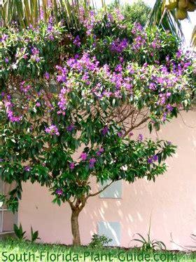 purple flowering shrubs in florida tibouchina tree