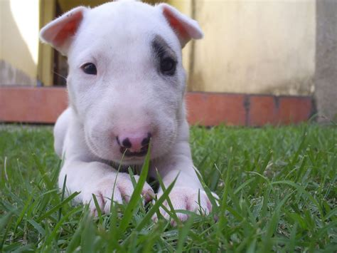 bull terrier puppies rescue pictures information bull terrier puppies rescue pictures information