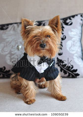 yorkie clothes for males pin yorkie gender isrescue a handsome month chocolate on