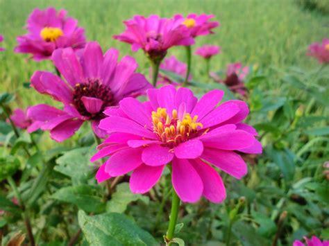 Jual Bibit Bunga Mawar Aneka Warna jual bibit tanaman bunga zinnia ungu dwiwarna group