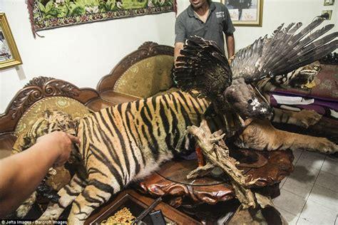 Kartu Telepon Indonesia Wwf World Wildlife Fund taxidermy tiger seized during anti wildlife smuggling raids in indonesia daily mail