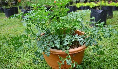 Bibit Seledri Jepang cara menanam seledri di pot atau polybag di rumah bagi