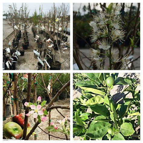 fruit trees bay area trees palms fruit trees bay area landscape nursery