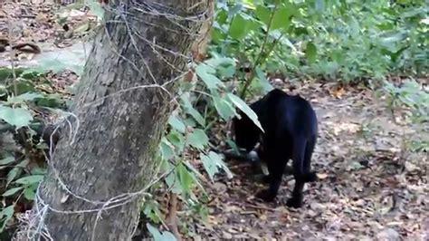 imagenes de un jaguar negro jaguar negro en el zoomat chiapas youtube