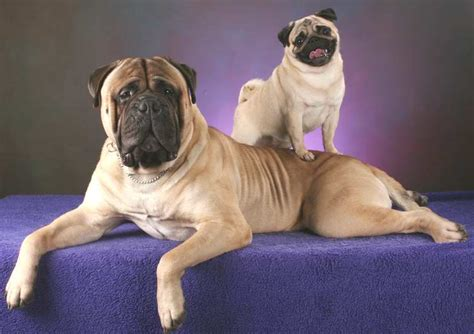 pugs in apartments top10 lazy breeds pets world