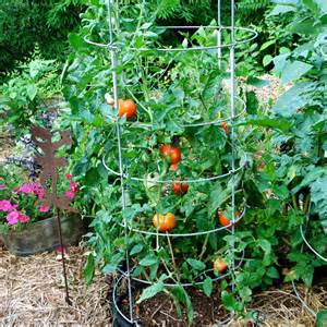 the good seed summer tomatoes garden club