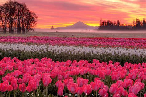 wooden shoe tulip farm extends festival    kval