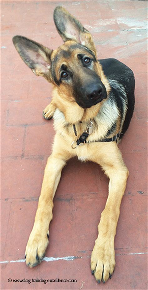 german commands a german shepherd with german commands dogs our friends photo