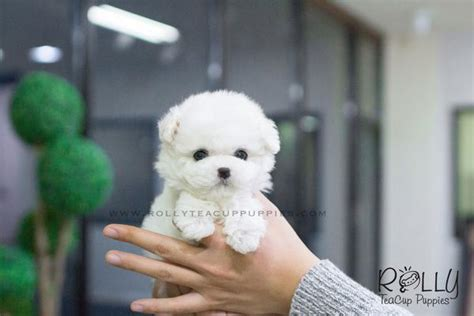rolly teacup puppies for sale molly bichon f rolly teacup puppies