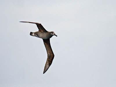 soaring albatross oregon seabirds
